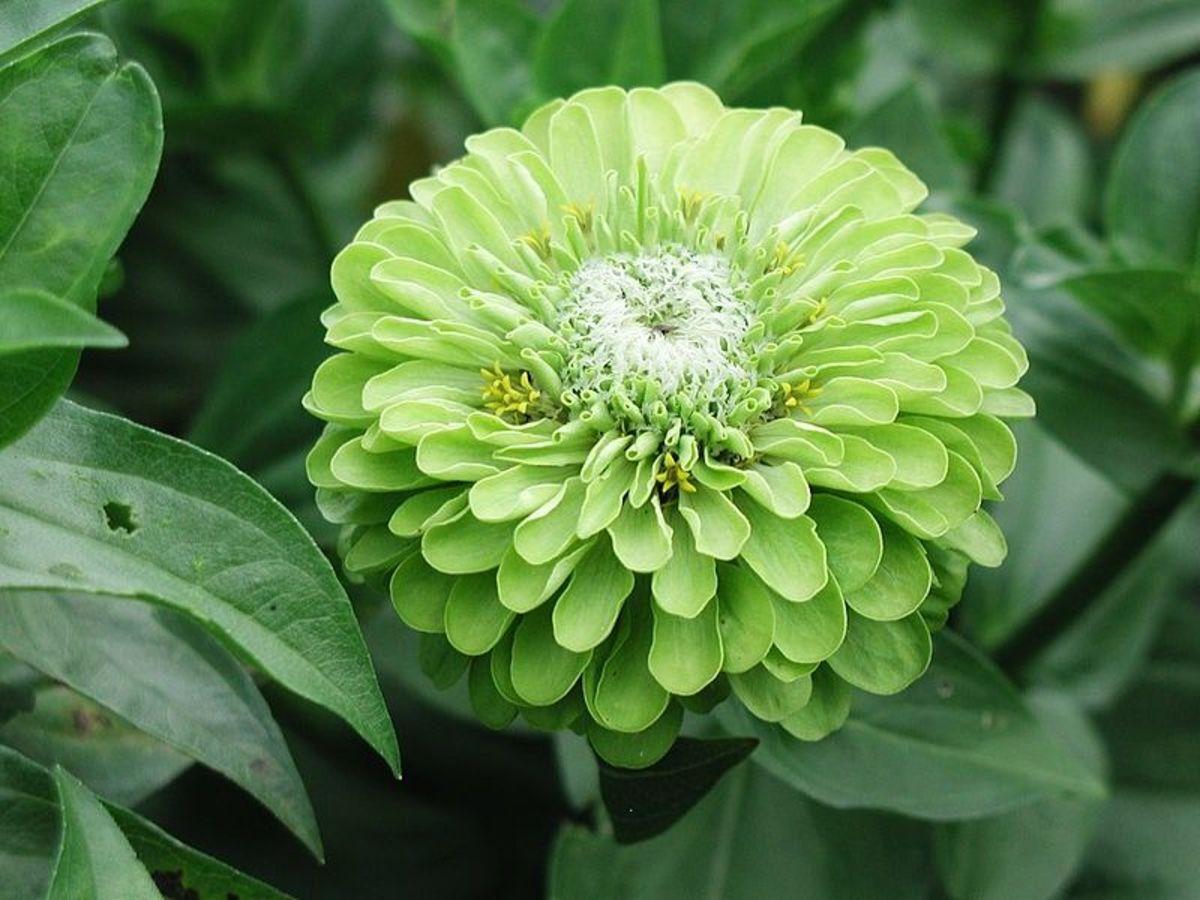 Green Flowers For Gardens And Arrangements Dengarden