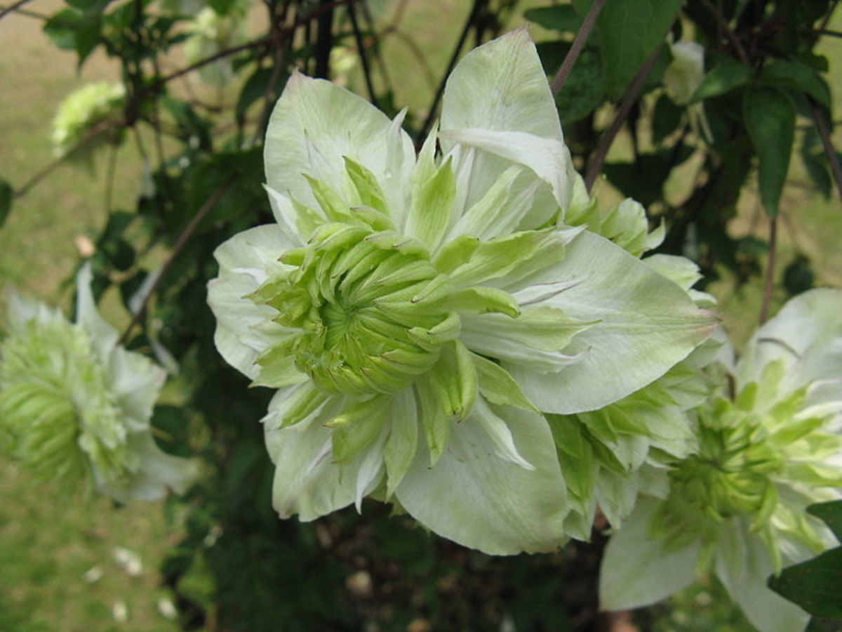 Clamatis florida Alba Plena