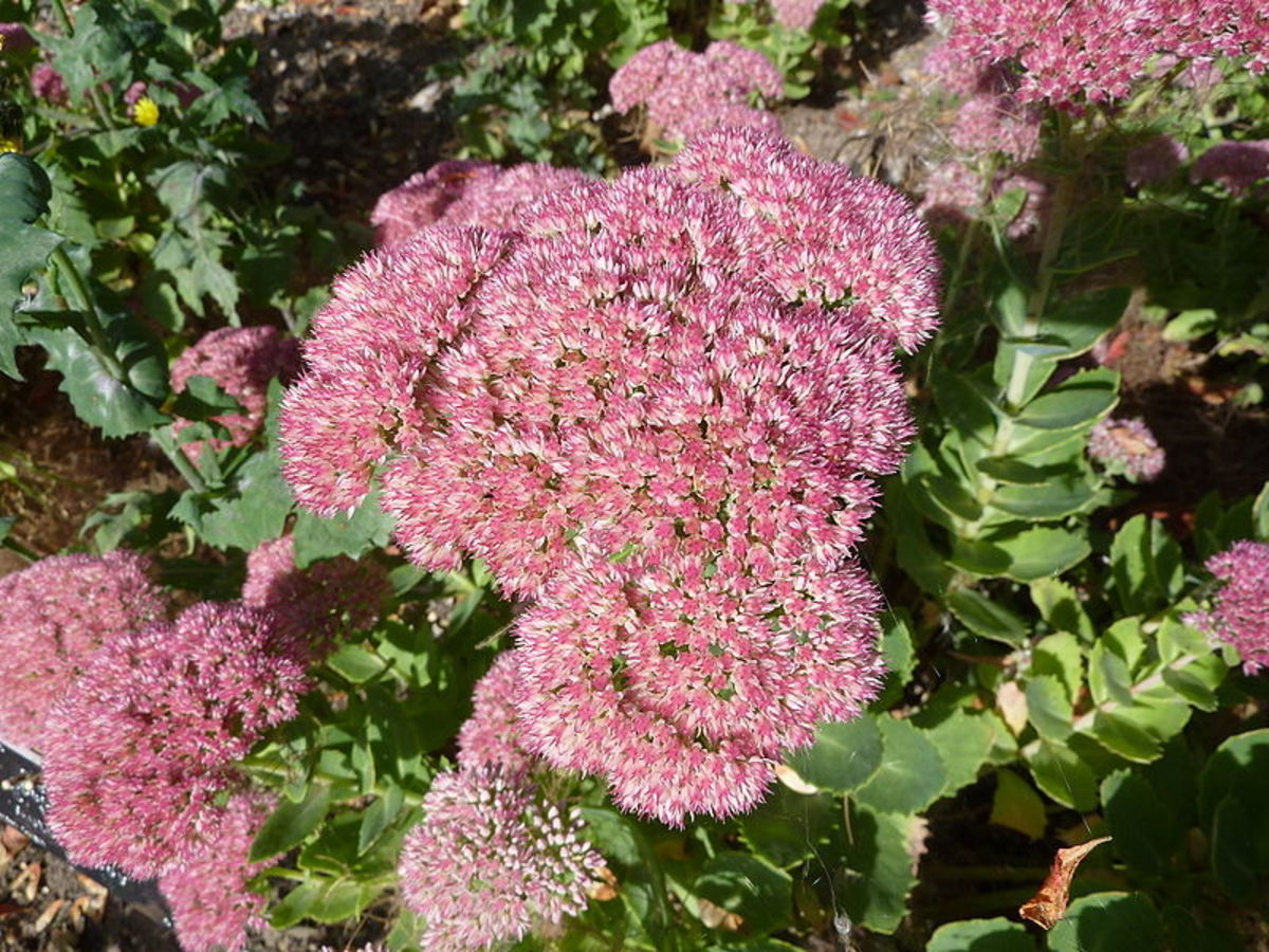Fall Color - Sedum 'Autumn Joy'