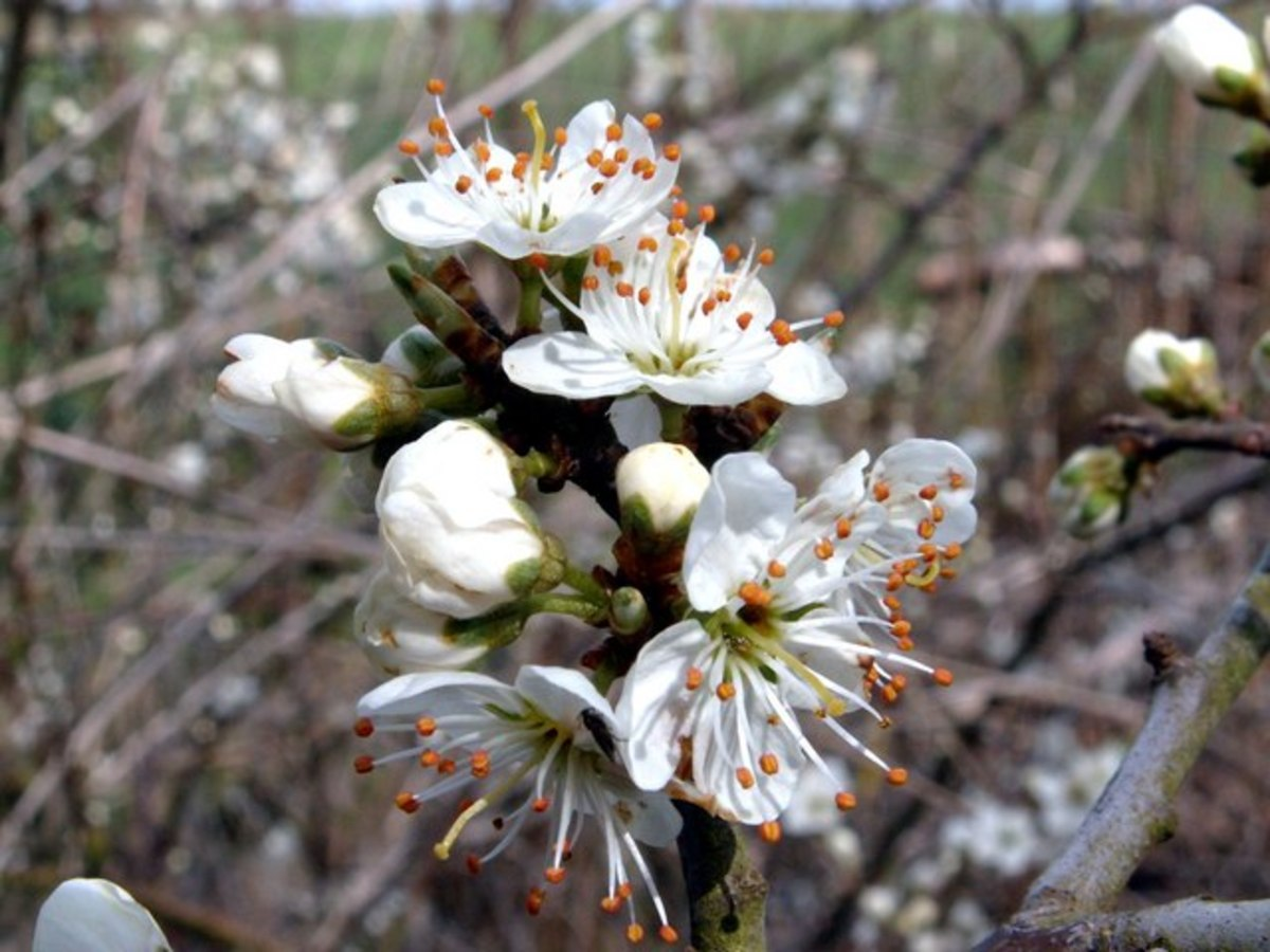 Blackthorn  in bloom.