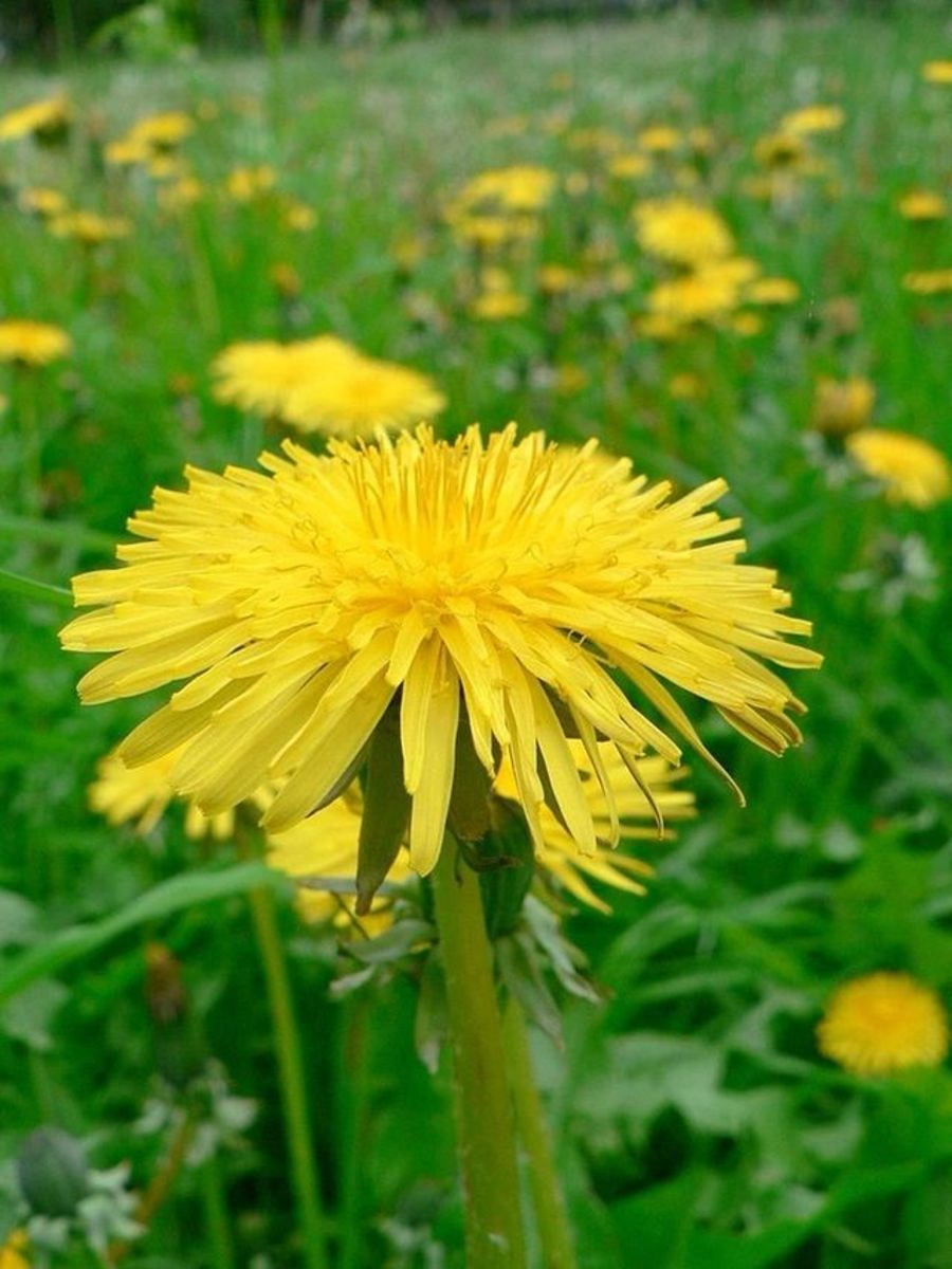 Dandelions are a common site in parks and gardens.