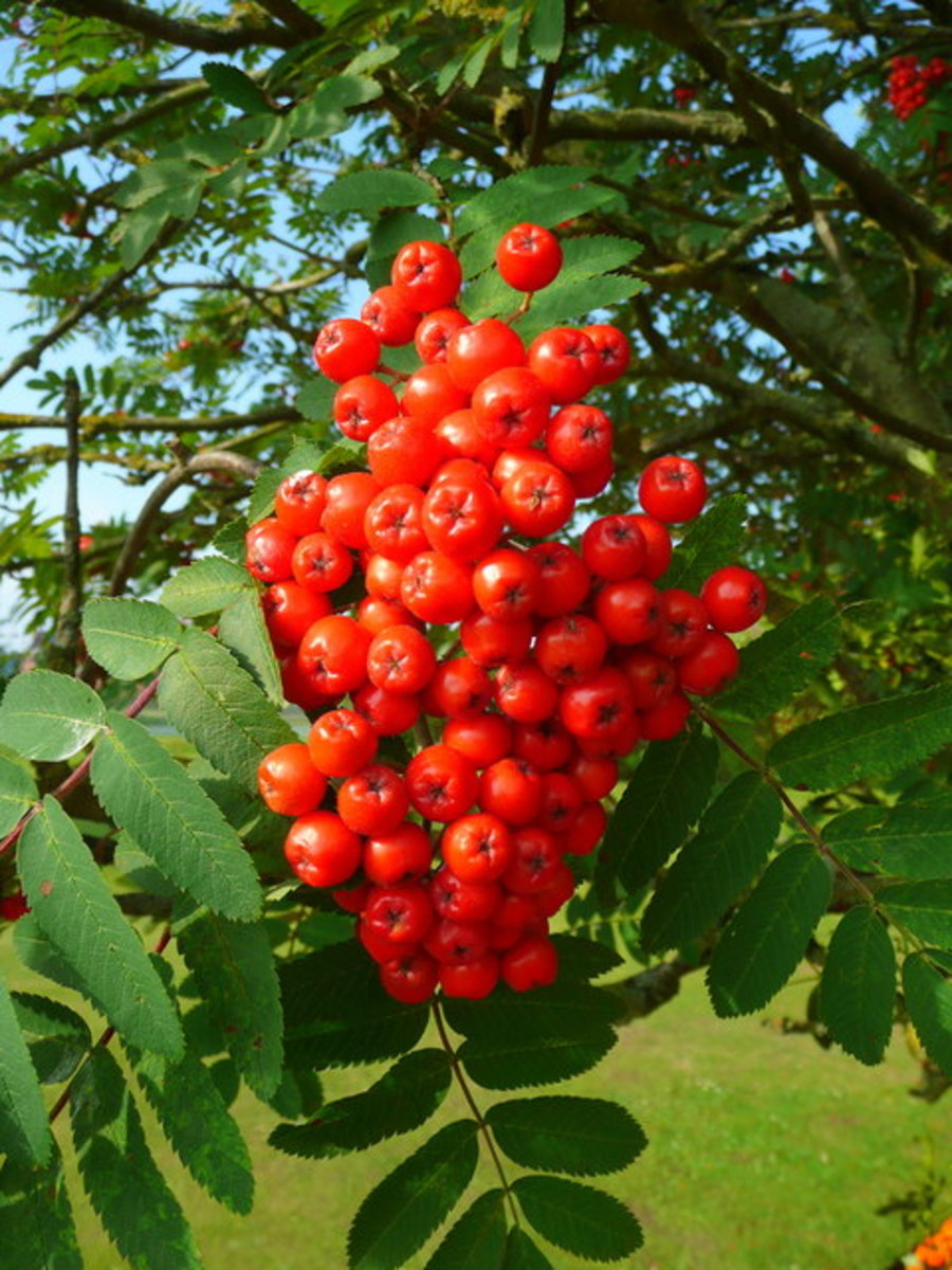Rowan berries and leaves.
