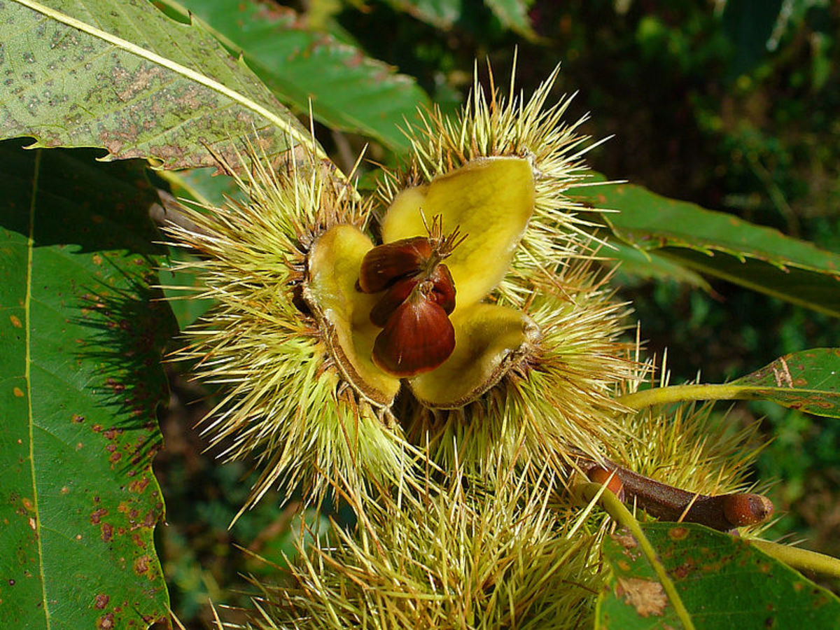 Sweet chestnuts can be used for a variety of applications in the kitchen, including making your own delicious flour.