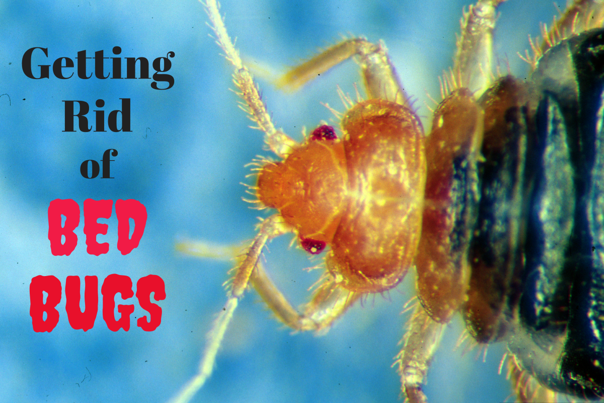 Though it might seem insurmountable at times, a bed bug infestation is totally manageable if you follow the right steps. This article will show you how.