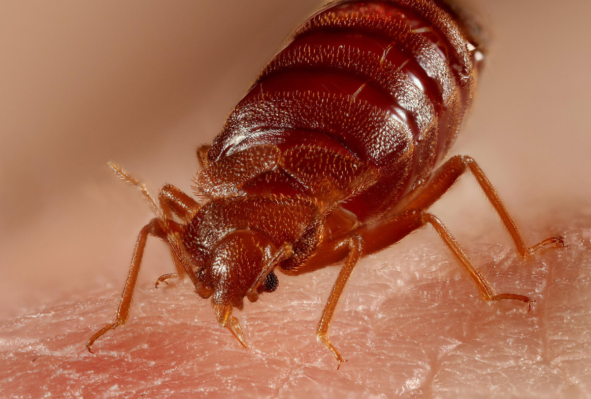 This is a close-up of a bed bug. They can't stand heat, so if you use hot washes, dryers, and steam to your advantage, you should be able to eradicate them.