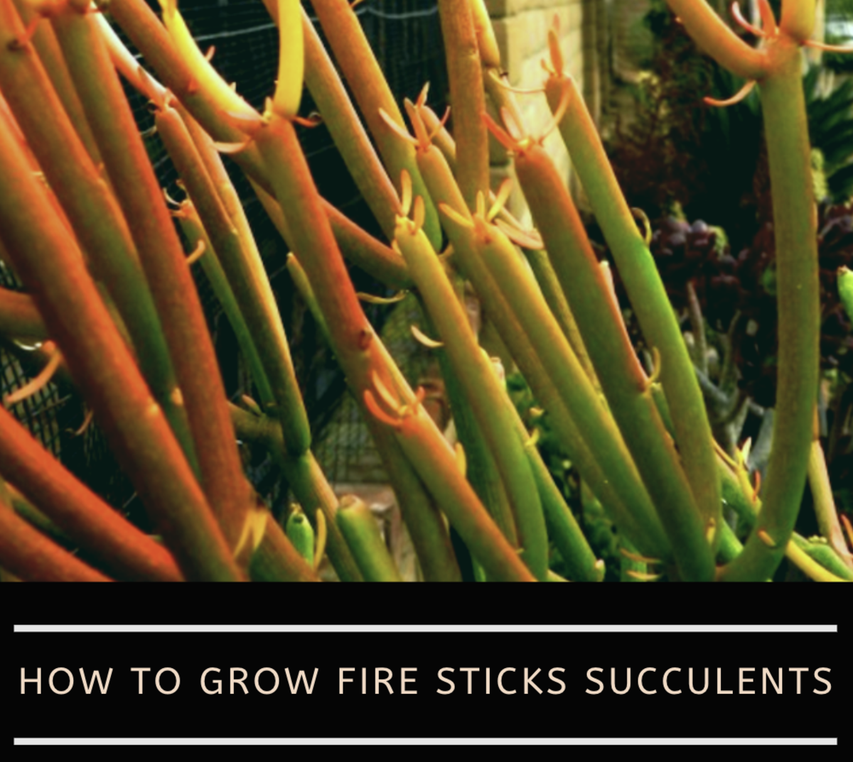 How To Care For Fire Sticks Succulents