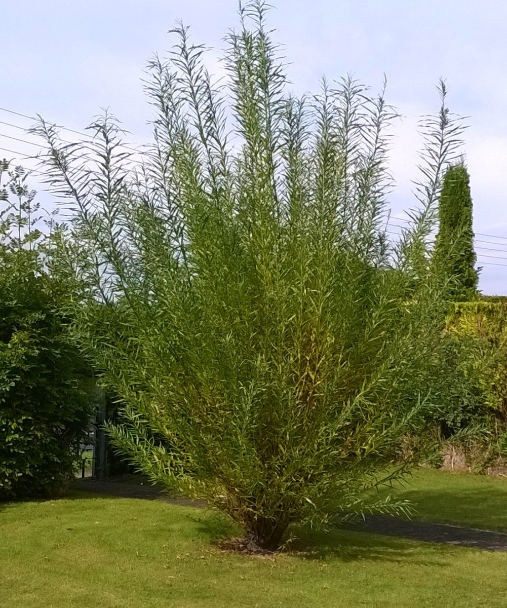 Willow tree with one season's growth (12 feet).
