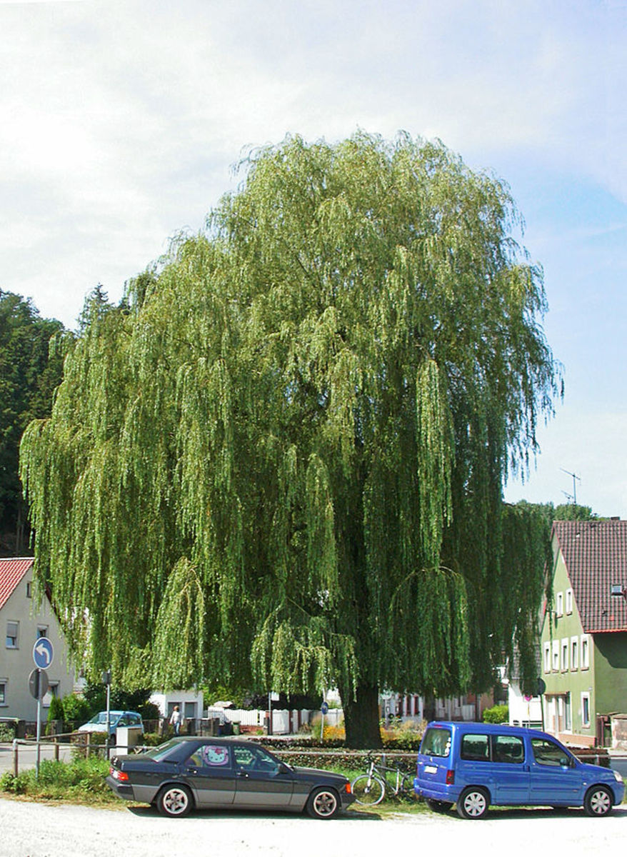 Weeping willow.