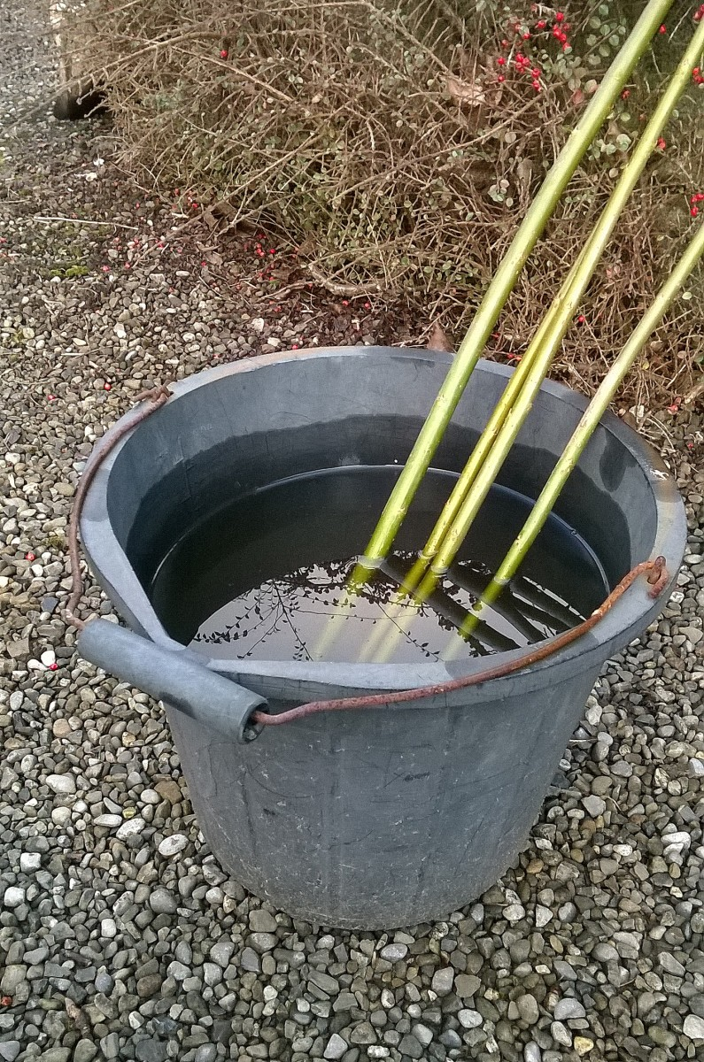 You can root willow in a bucket of water and plant once roots appear.