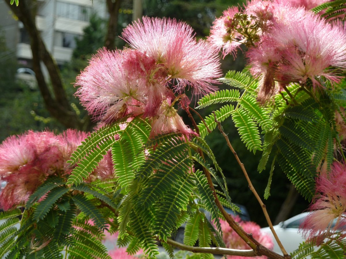 Pink Mimosa. There is also white mimosa.