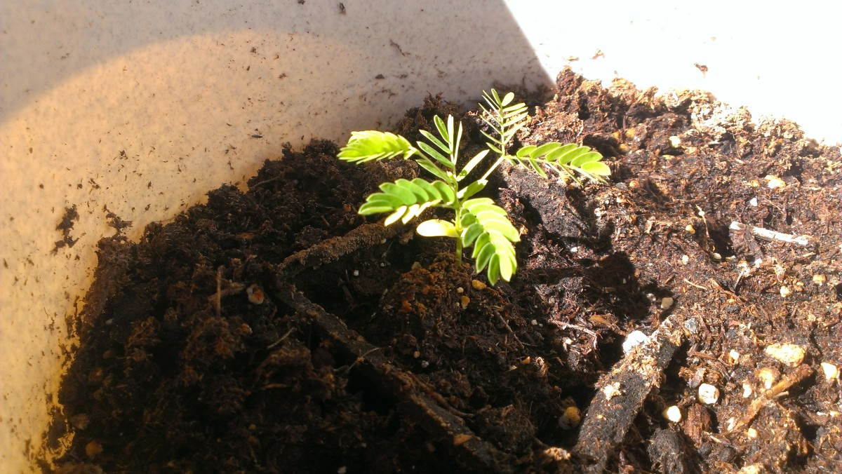 This photo shows a Mimosa seedling 2 inches high, transplanted with peat pot into the large pot of starting soil.