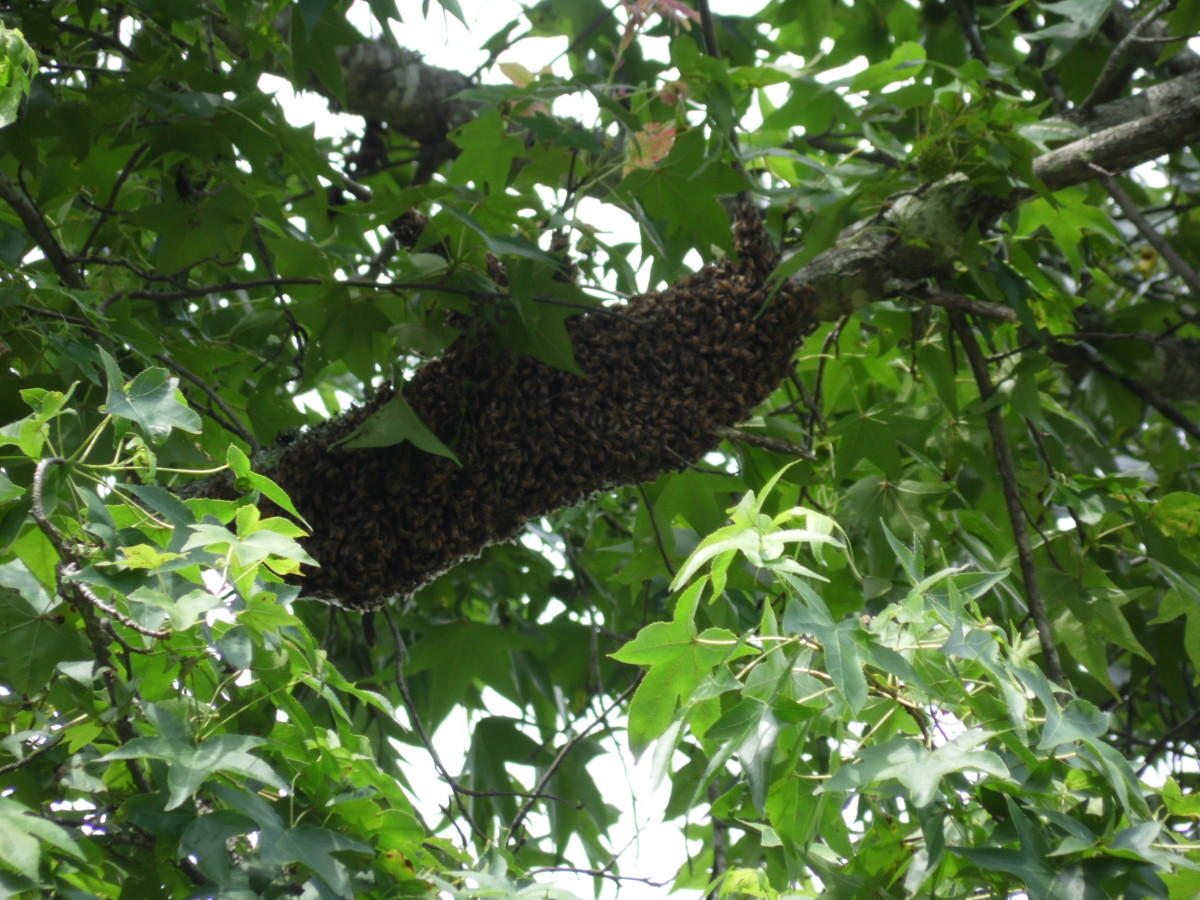 Swarm of honey bees high in a poplar tree.