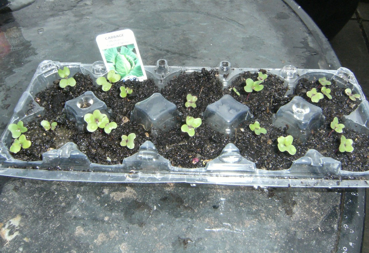 How to Plant Cabbage Seedlings