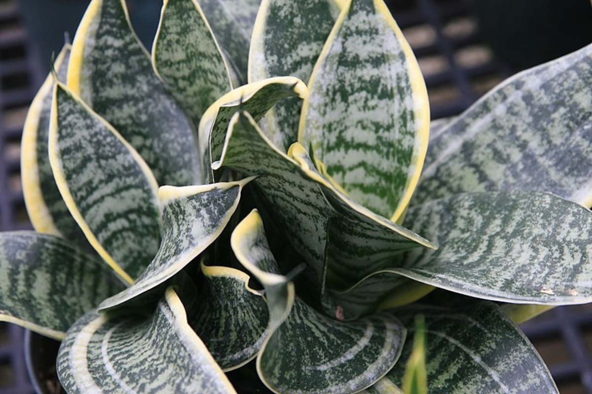 A Birdnest sansevieria.  Note how the leaves are shorter and twisted.