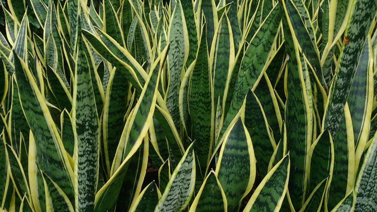 Sansevieria or Mother-in-law's Tongue
