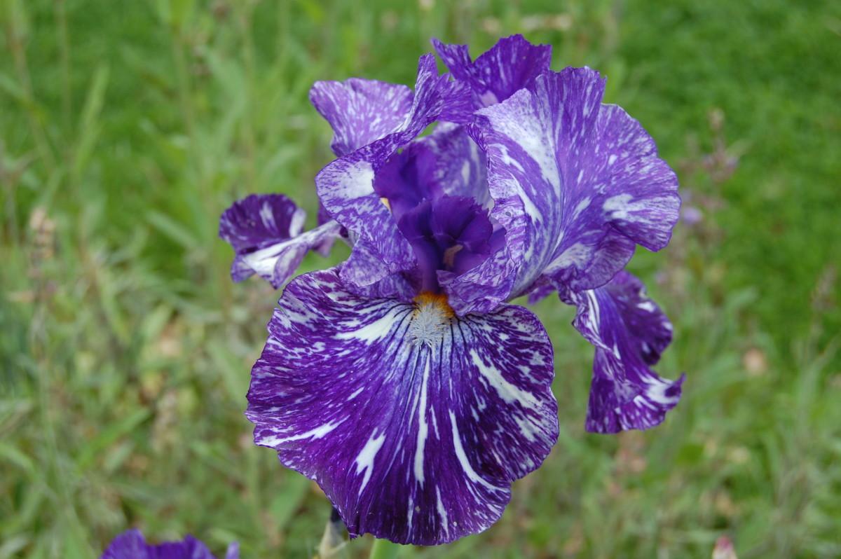 Broken Colors Bearded Iris