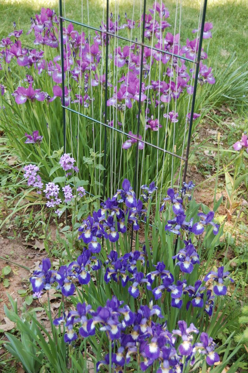 Siberian iris growing in my garden