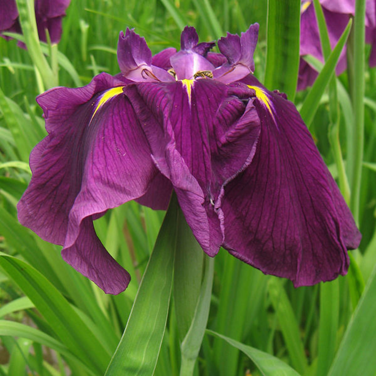 How to Grow Japanese Iris