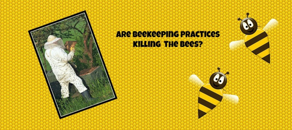 Some beekeeping practices may be contributing to the death of honey bees and to colony collapse disorder.