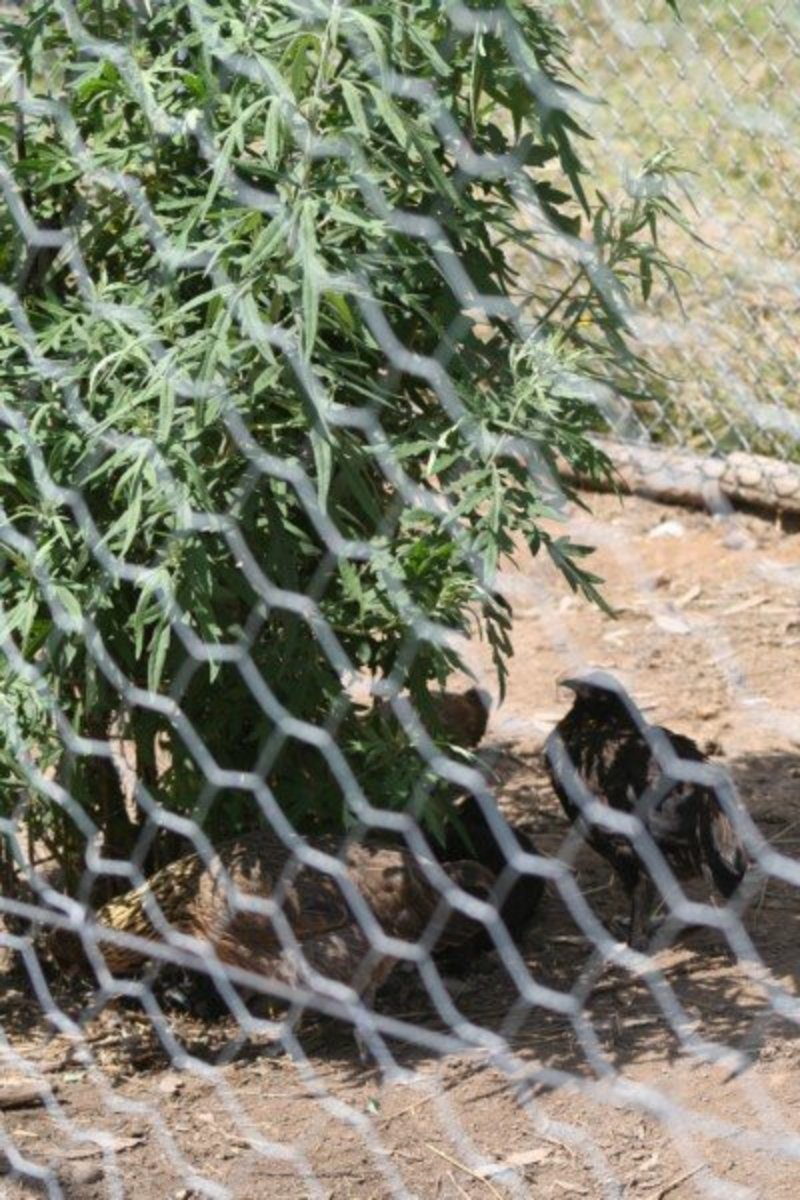 As the herbs grow in their small protected areas, the chickens can eat the leaves, seek shelter from winds, and shade from the sun.