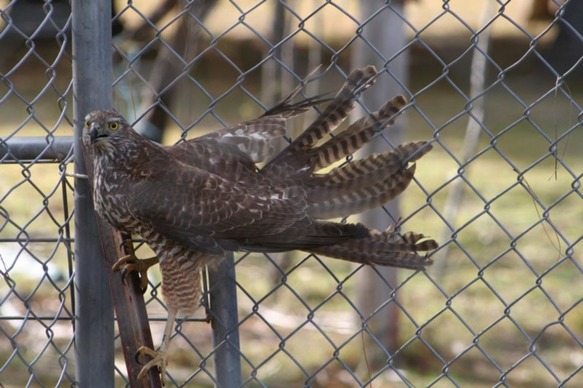 I Locked a Brown Goshawk in With my Chickens - How my Poultry Survived a Night With a Hawk