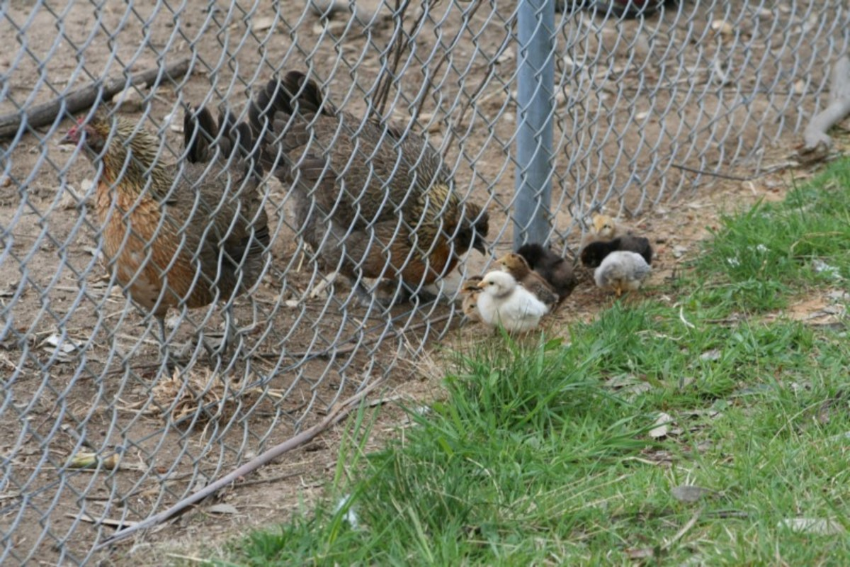 When they are tiny, chicks can fit through the wire mesh in the chicken run fence.