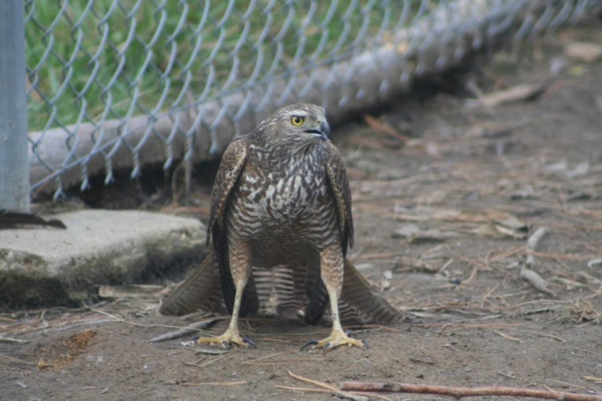Hawks like to approach their prey from the air. On ground level, eye to eye with protective mother hens and a couple of feisty roosters, this young Brown Goshawk was far less effective at catching its prey.