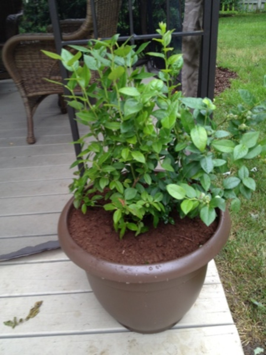 My blueberry plant in a container also makes for a great addition to the patio!
