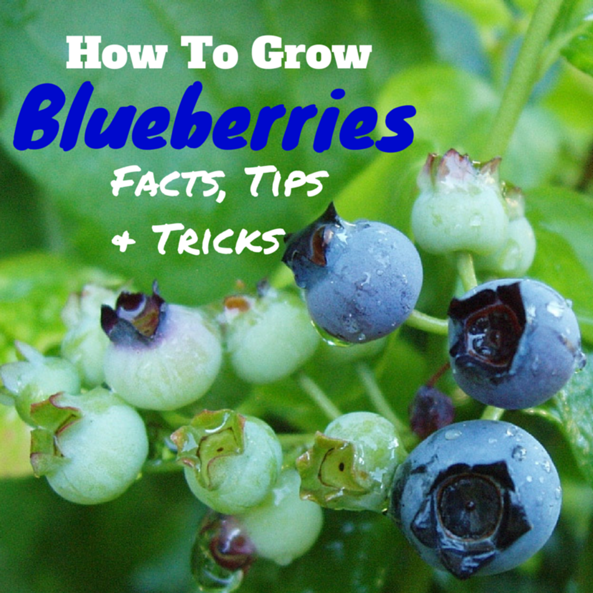 Facts, Tips, and Tricks to Growing Blueberries