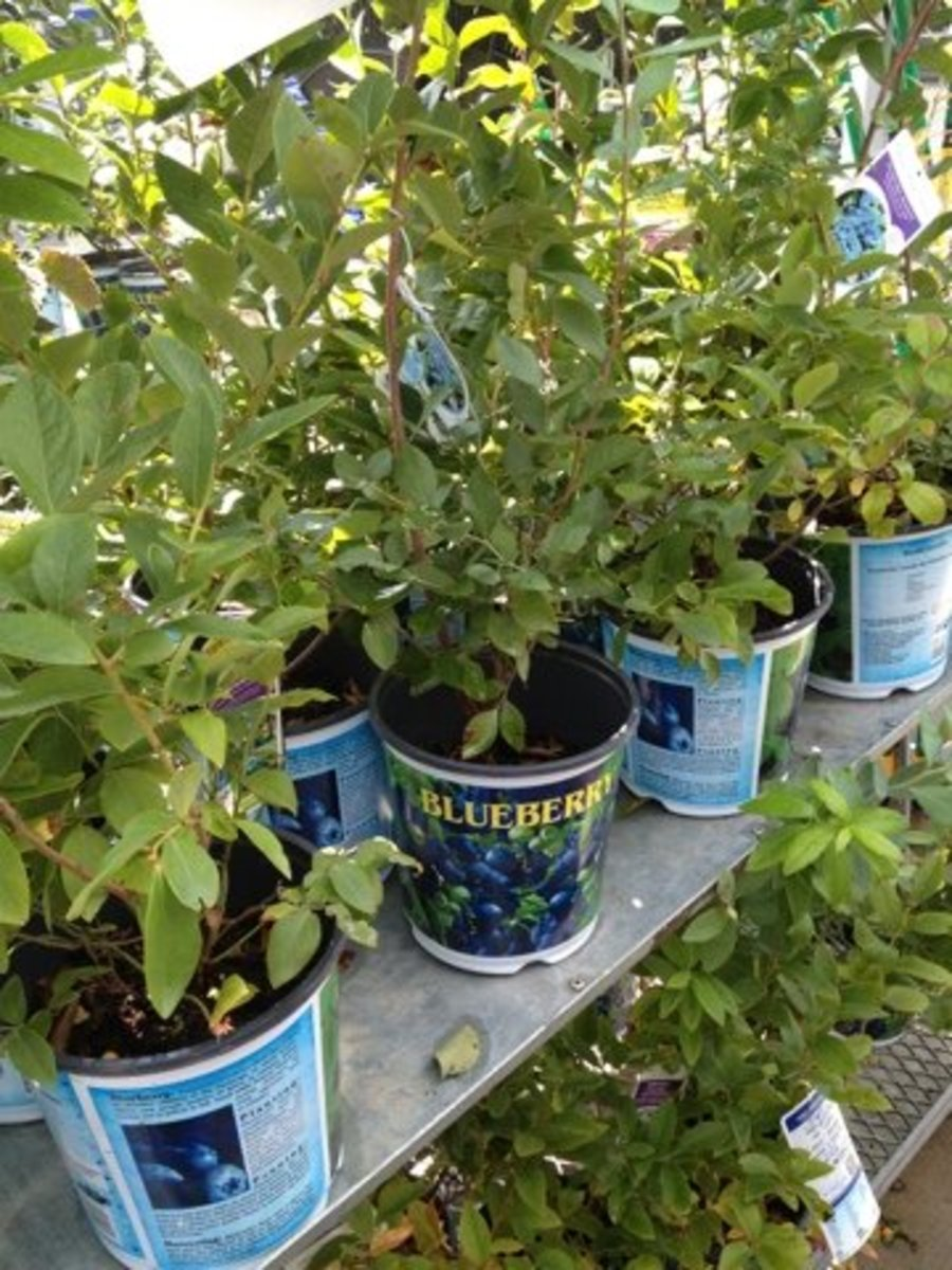You can often find great deals on blueberries and other berry plants if you look to purchase them in the fall.