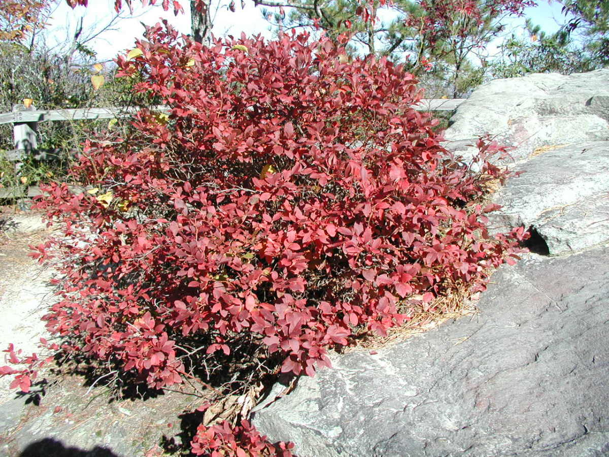 Blueberry plants make for beautiful fall foliage!