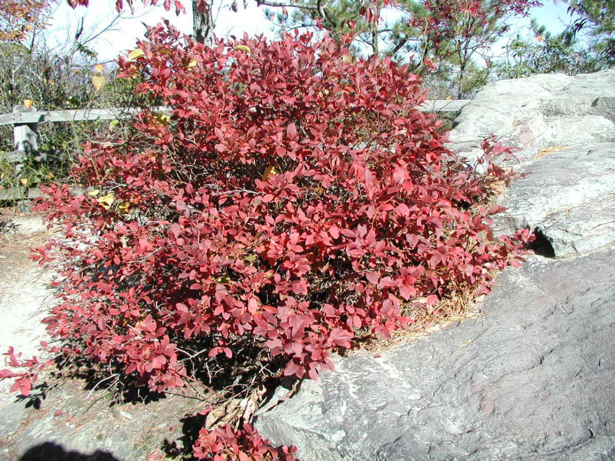 Blueberry plants make for beautiful fall foliage!