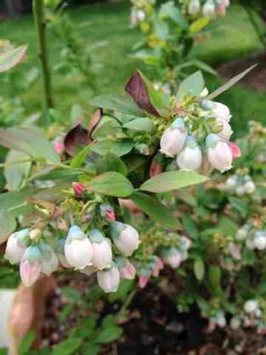 My blueberry bush in bloom in 2013