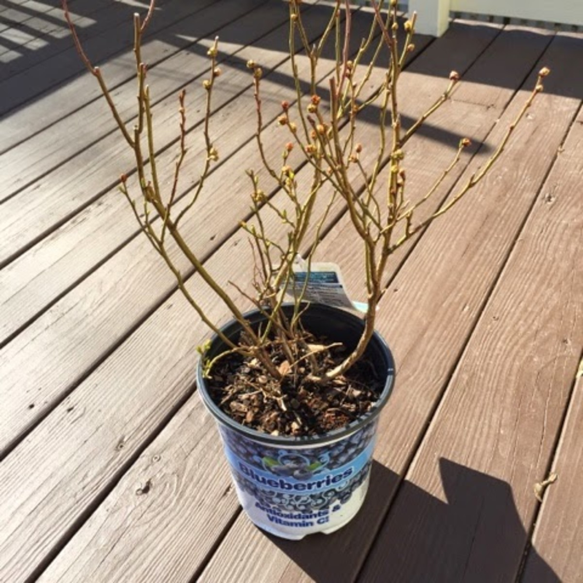 My new Duke Blueberry bush that I bought in the spring of 2015.