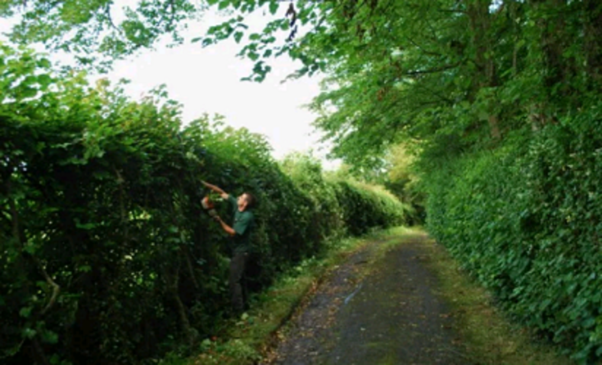 trimming a hedgerow fence