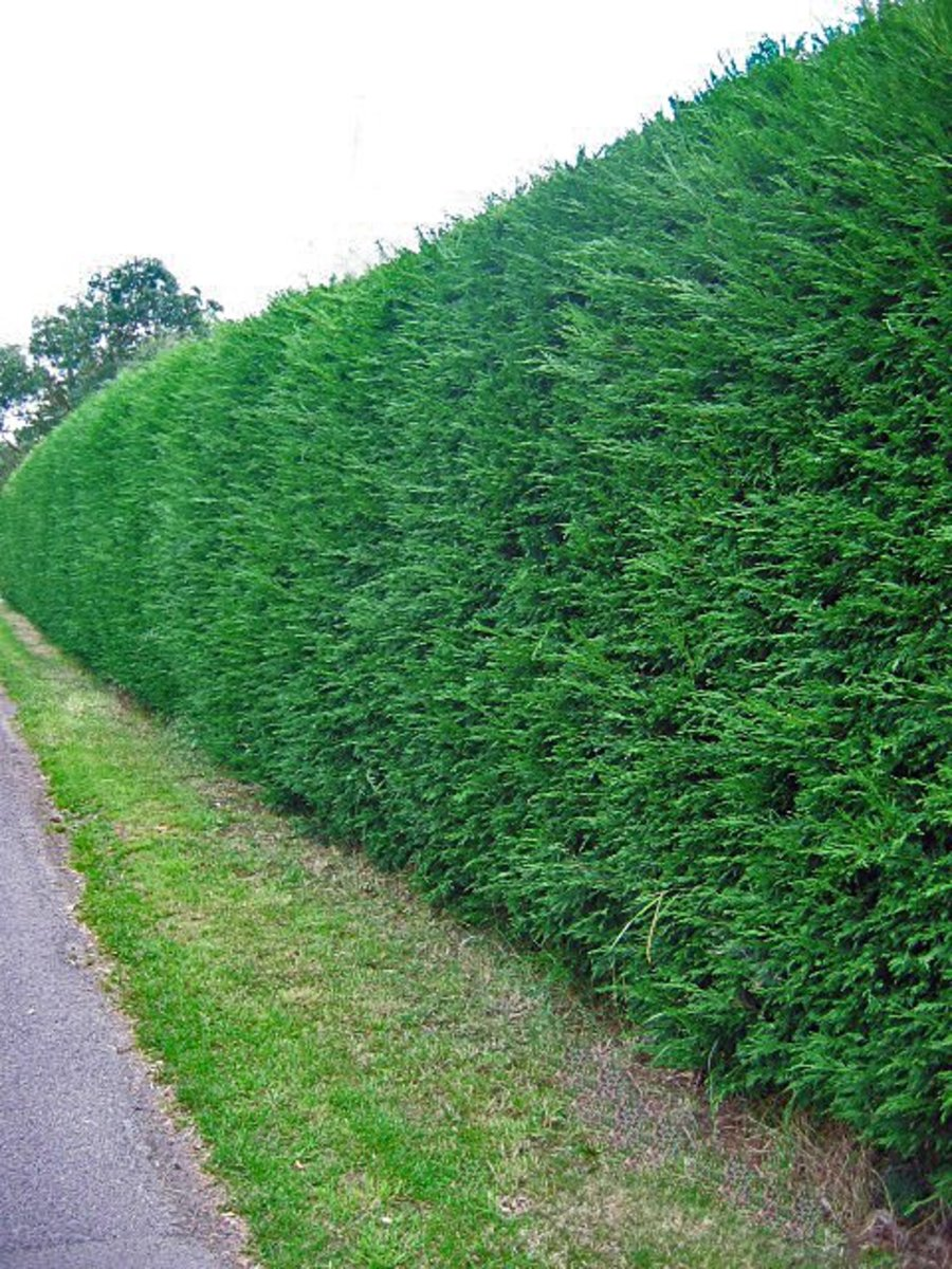 How to Grow a Thick Hedge Fast