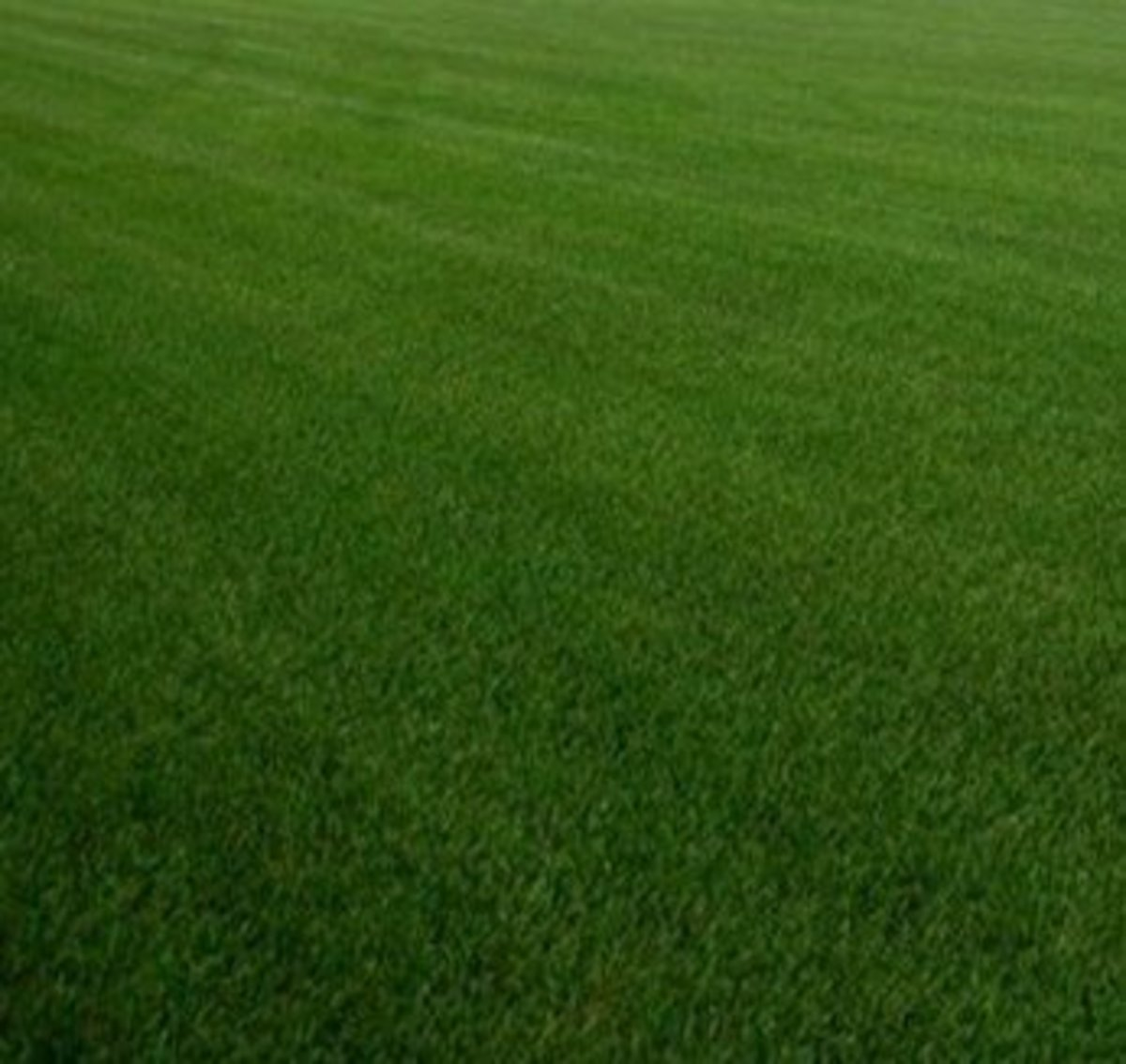 Hardy Kentucky bluegrass is a great choice for cool-season lawns in Ohio.