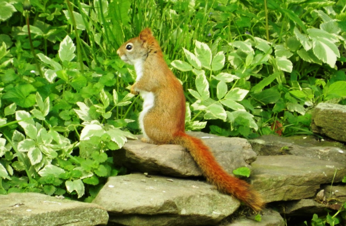 The American red squirrel is another adversary you may encounter.