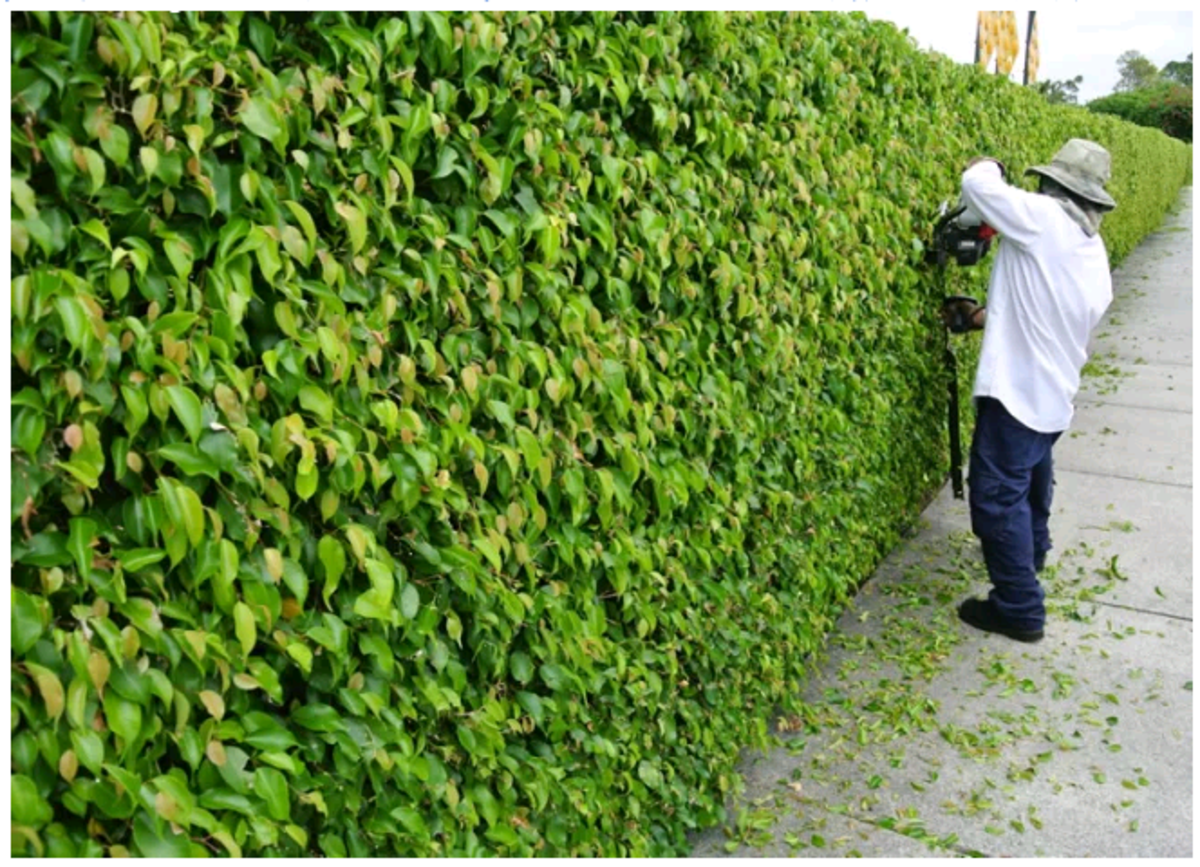 How to Trim and Shape a Hedge