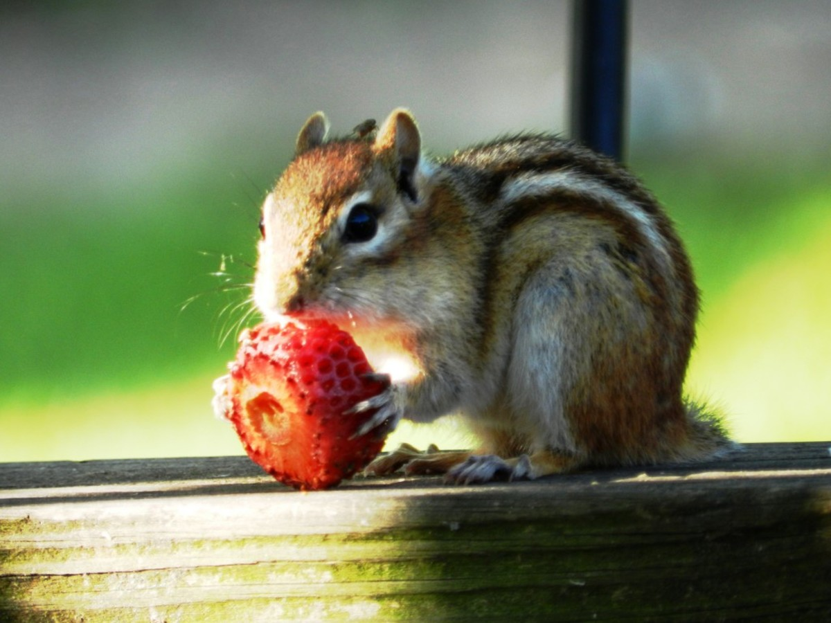 Eastern Chipmunk Found a Strawberry