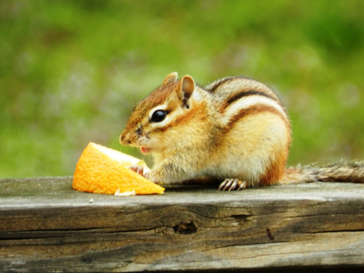Eastern Chipming Eating an Orange