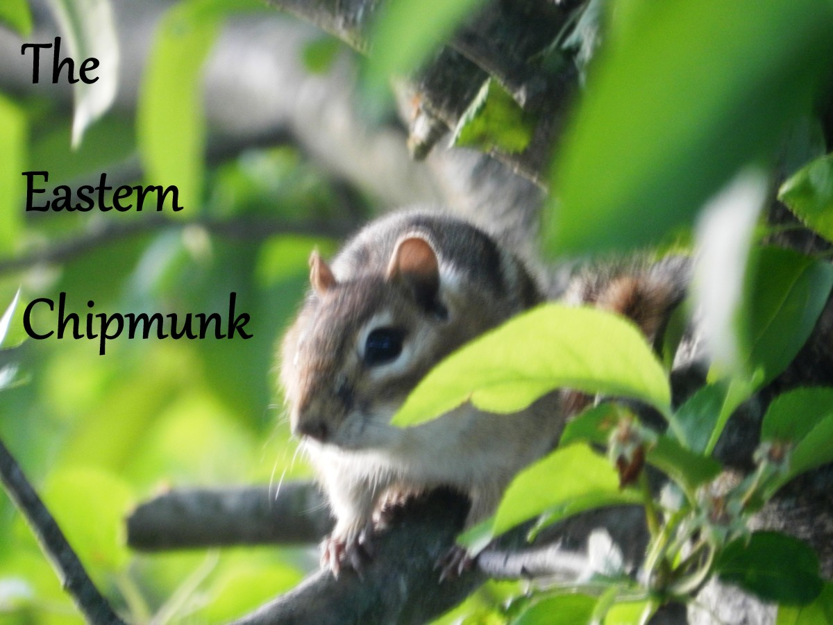 Learn how to stop the Eastern Chipmunk from raiding your bird feeder, wrecking your garden and driving you insane.