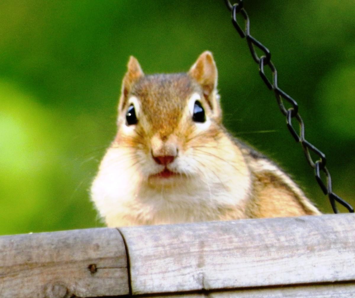 Sneaky Chipmunk Stealing Birdseed