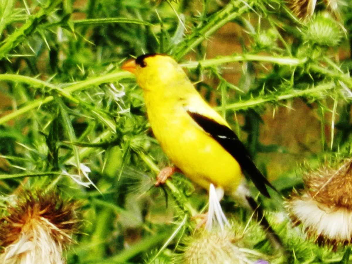 American Goldfinch Harvesting Thistle Seeds