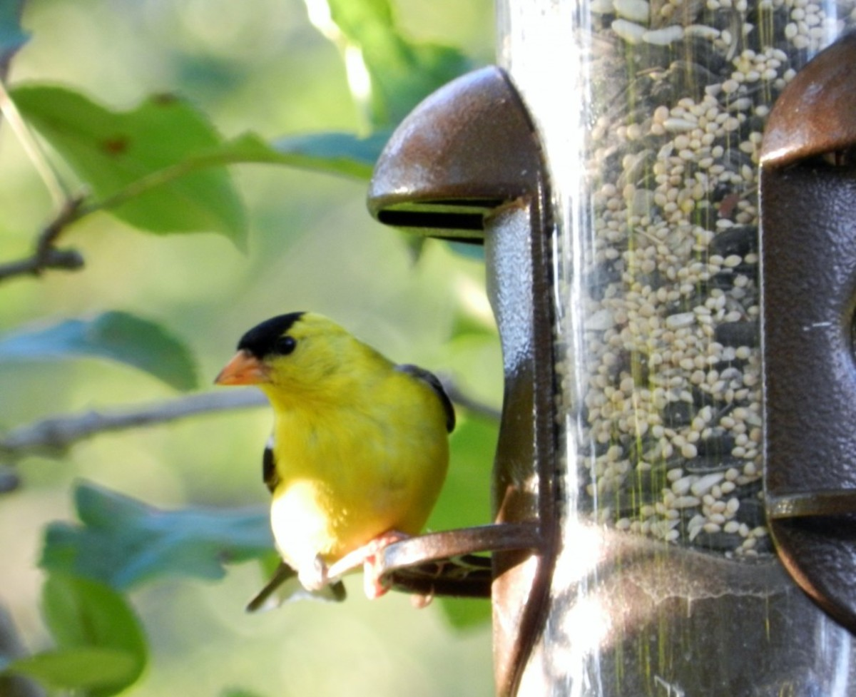 Goldfinch at Tube Feeder