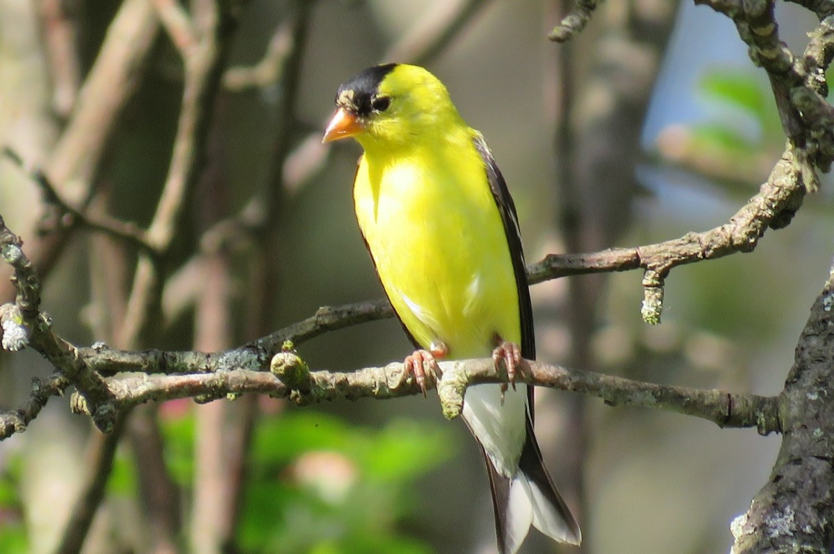 How to Attract Goldfinches to Your Backyard Feeder
