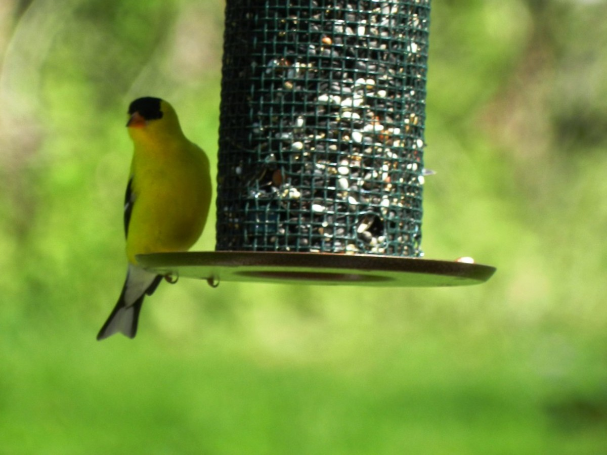 Lunch at a Sunflower Feeder