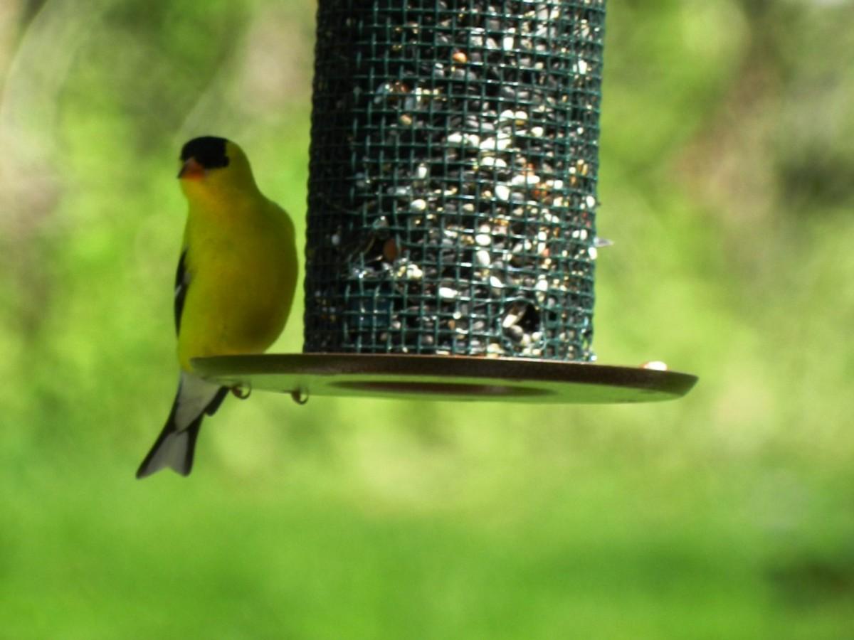 Goldfinch at a Sunflower Feeder
