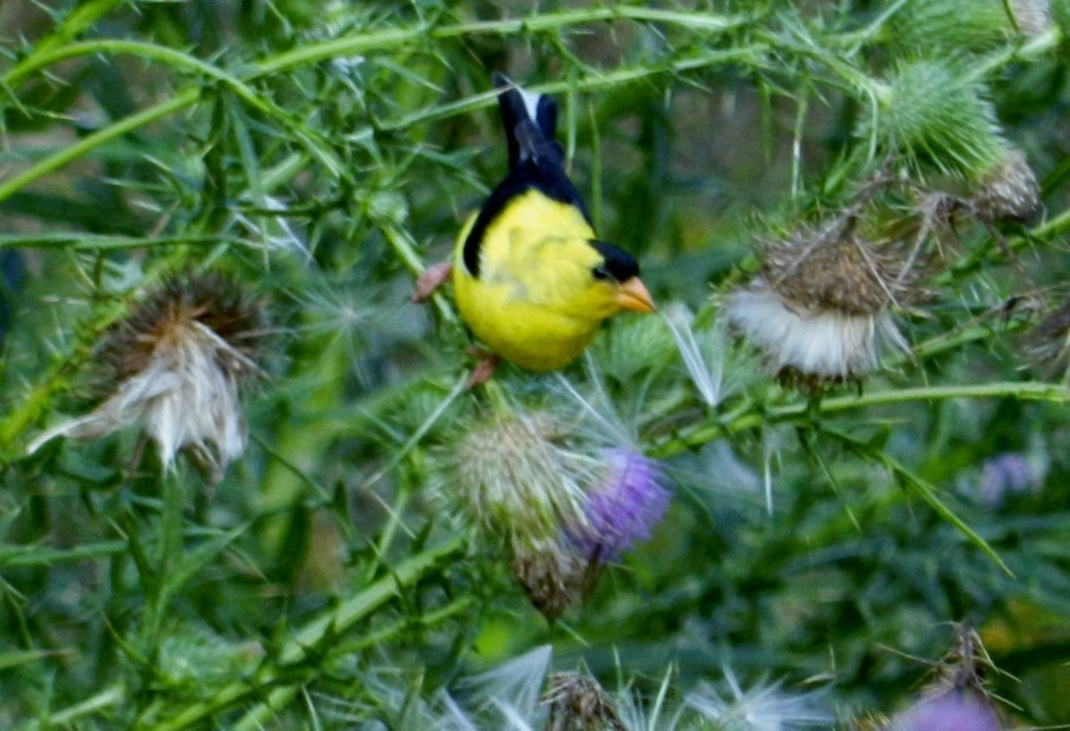 American Goldfinch Harvesting Thistle in Late Summer