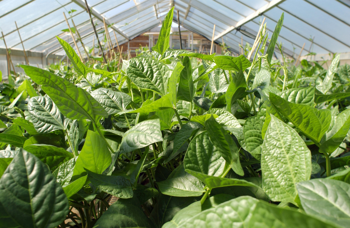 cowpeas in a greenhouse